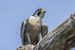 Peregrino (peregrinus de Falco) Fotos de archivo libres de regalías