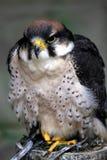 Peregrino (peregrinus del Falco) Imágenes de archivo libres de regalías
