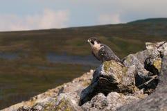 peregrinus чужеземца сокола falco стоковая фотография rf