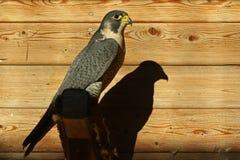 peregrinus чужеземца сокола falco Стоковая Фотография