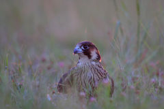 Peregrinus de Peregrine Falcon /Falco. Fotografia de Stock