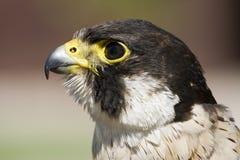 Peregrinus del Falco del halcón de peregrino Imagen de archivo