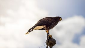 Peregrinus, falcon climbed to the tip of a belfry in spain, is r. Eady to jump to fly and hunt its prey Stock Photo