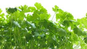 Perejil en el florero, primer Las hojas del color verde intenso, son acariciadas por la mano masculina de un hombre almacen de video