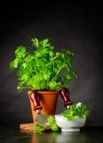 Perejil fresco que crece en pote con Mezzaluna en vida inmóvil imagen de archivo