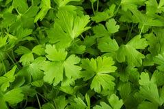 Perejil fresco verde Fotos de archivo