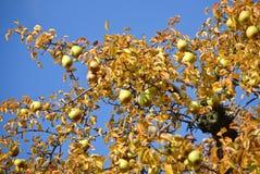Peren op een boom Royalty-vrije Stock Afbeelding