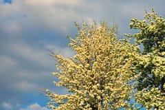 Perenbloesem in de vroege lente, mooie die boom met witte bloemen onder een bewolkte hemel wordt behandeld Royalty-vrije Stock Foto