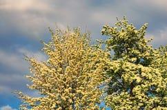 Perenbloesem in de vroege lente, mooie die boom met witte bloemen onder een bewolkte hemel wordt behandeld Stock Foto