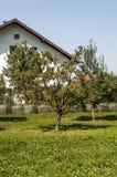 Perenbomen stock foto