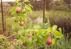 Perenboom met rode peren Stock Afbeeldingen