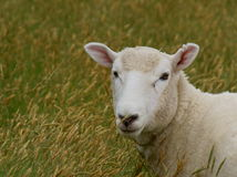 Perendale Ewe Stock Photos