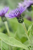 Perenial Cornflower Royalty Free Stock Image