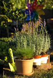 Perenial and herbs planting Royalty Free Stock Photo