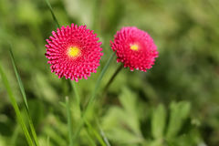 Perenis do Bellis, flor da mola no prado Imagens de Stock