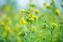 Perenn gräsväxt av släktet Trifolium Royaltyfri Fotografi