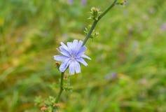Perenn herbaceous växt för Chicory Arkivfoton