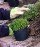 perenn som planterar växter Arkivbilder