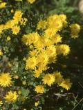 Perenna krysantemum öppnar deras nätta sent - säsongblommor Arkivbild