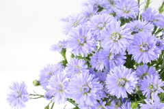 Perennial aster bundle Stock Photo
