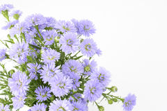 Perennial aster bundle Royalty Free Stock Images