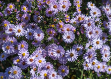 Perennial asters Stock Image