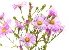 Perennial  asters Royalty Free Stock Images