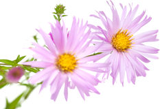 Perennial  asters Stock Images