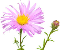 Perennial  asters Royalty Free Stock Image