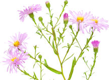 Perennial  asters Royalty Free Stock Photo