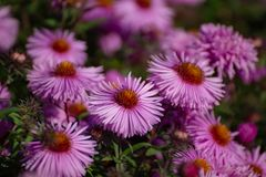 Perennial Astra Violet Queen royalty free stock photography