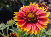 Perennial blanket flower. Red and yellow Stock Image