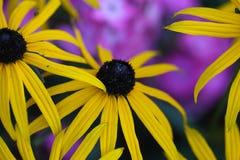 Perennial coneflower & x28;Rudbeckia fulgida& x29; Royalty Free Stock Images
