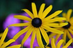 Perennial coneflower & x28;Rudbeckia fulgida& x29; Royalty Free Stock Image