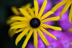 Perennial coneflower & x28;Rudbeckia fulgida& x29; Royalty Free Stock Photos