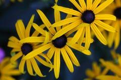 Perennial coneflower & x28;Rudbeckia fulgida& x29; Royalty Free Stock Photography