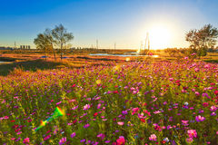 The perennial coreopsis sunset Stock Images