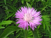 Perennial cornflower Stock Image