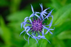 Perennial cornflower (Centaurea montana) flower from above Royalty Free Stock Photography