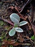 Perennial Cornflower / Centaurea Montana Leaves Stock Image