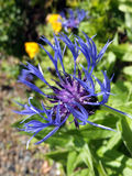 Perennial cornflower. In an english country garden Stock Photo