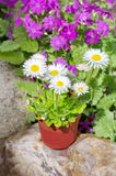 Perennial Daisy in the garden. Perennial Daisy lat. Bellis perennis in pot in the flower bed Royalty Free Stock Photography