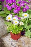 Perennial Daisy in the garden Royalty Free Stock Photography
