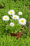Perennial Daisy in the garden. Perennial Daisy lat. Bellis perennis in pots on the background of the Sedum lat. Sedum acre Stock Image