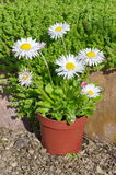 Perennial Daisy in the garden. Perennial Daisy lat. Bellis perennis in pots on the background of the Sedum lat. Sedum acre Royalty Free Stock Images