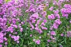 Perennial dell'aster Fotografia Stock