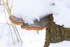 Perennial fruit bodies of some species growing on living trees can grow over 80 years old e.g. Phellinus igniarius. Polypores are a group of fungi that form stock photo