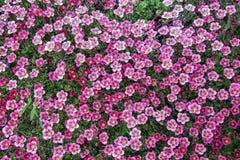 Perennial garden plant in the garden Stock Photos