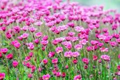 Perennial garden plant in the garden Stock Image