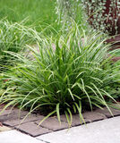 Perennial grass. Plants bush on the ornamental garden bed near the path Royalty Free Stock Photo
